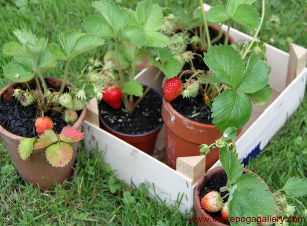 Strawberries grow anywhere