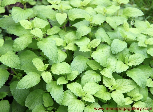 backyard the beautiful and healthy lemon balm