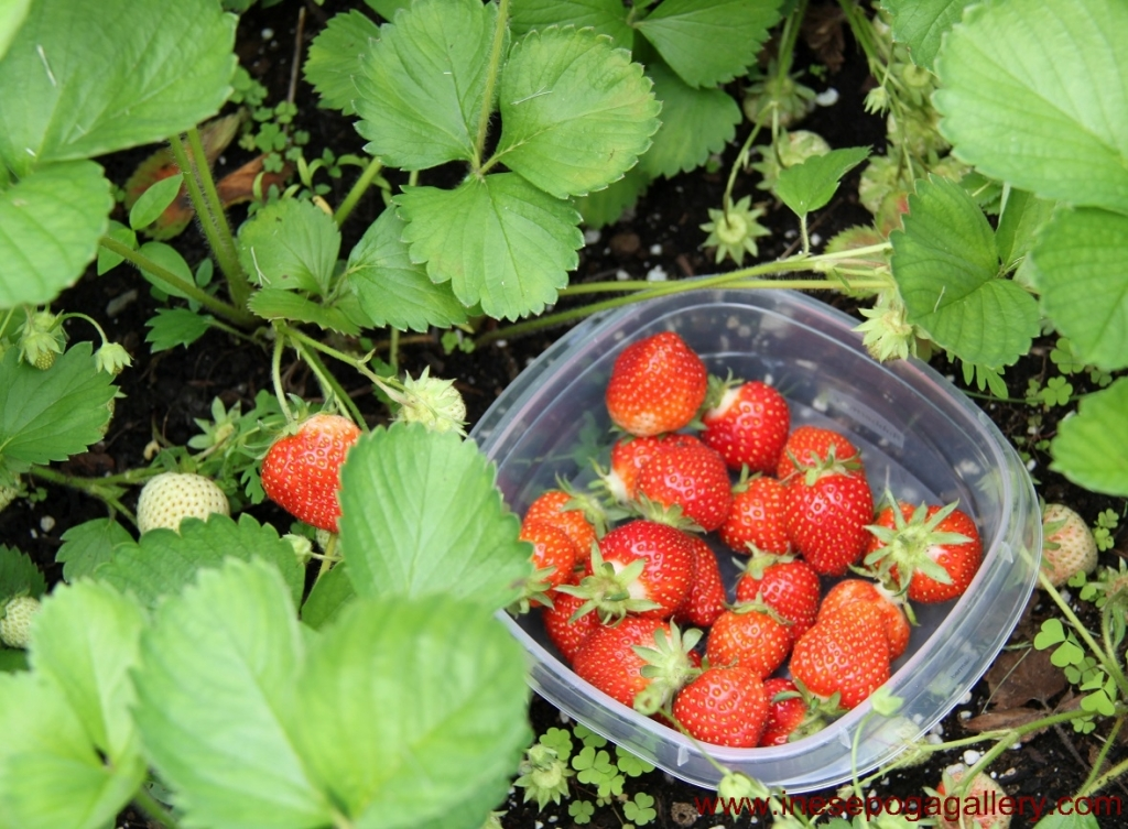 Easy to grow berries strawberries