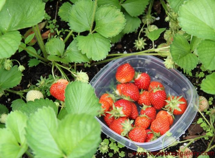Easy to grow berries strawberries