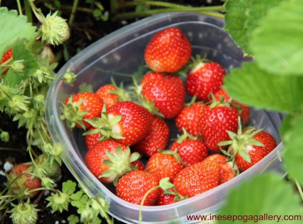backyard first strawberries
