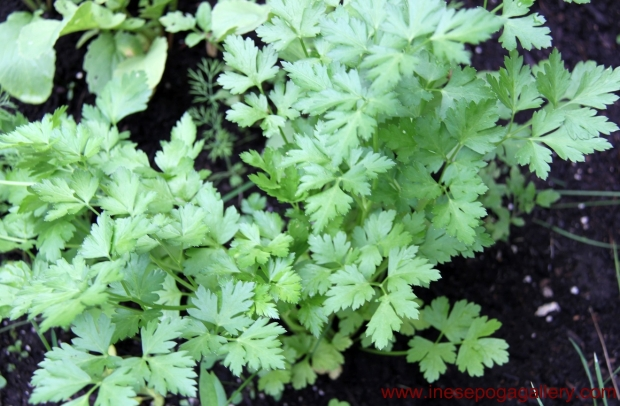 backyard simple parsley