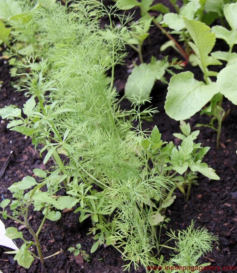 backyard Dill: huge health benefits