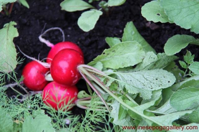 backyard crisp radish