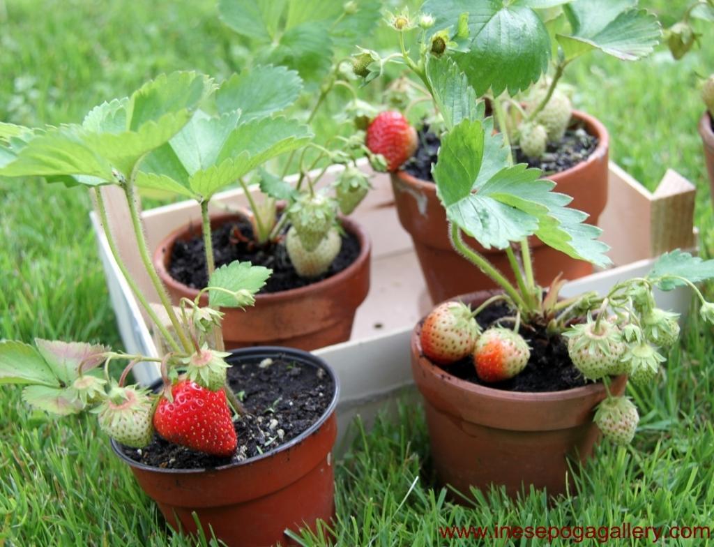 backyard strawberries