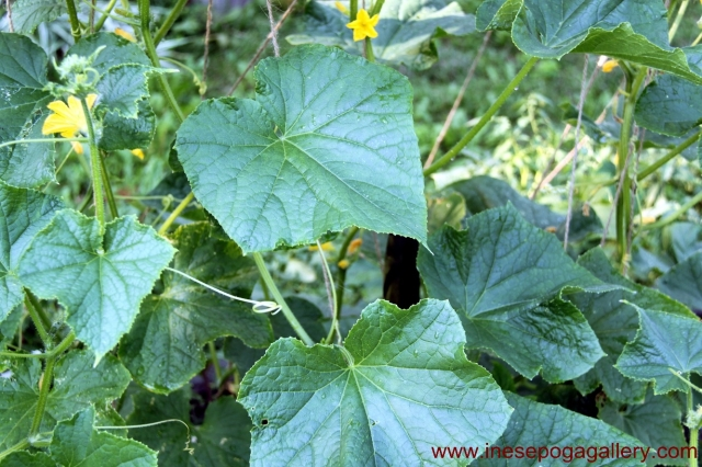 Vegetables in the garden: cucumbers