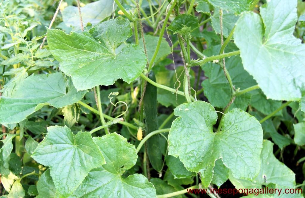 Cucumbers: fresh vegetables