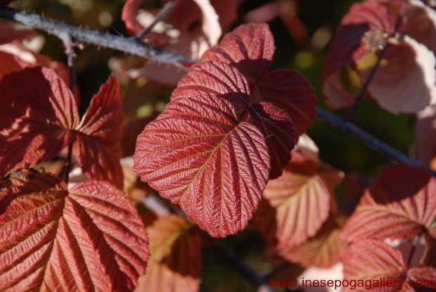 Autumn colors of raspberry leaves