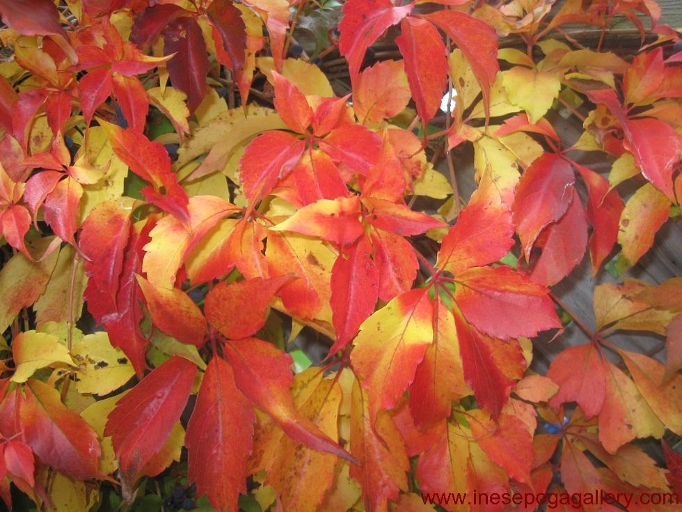Autumn colors of vines