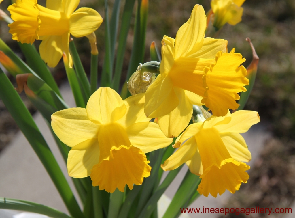 International Women's Day  beautiful daffodils