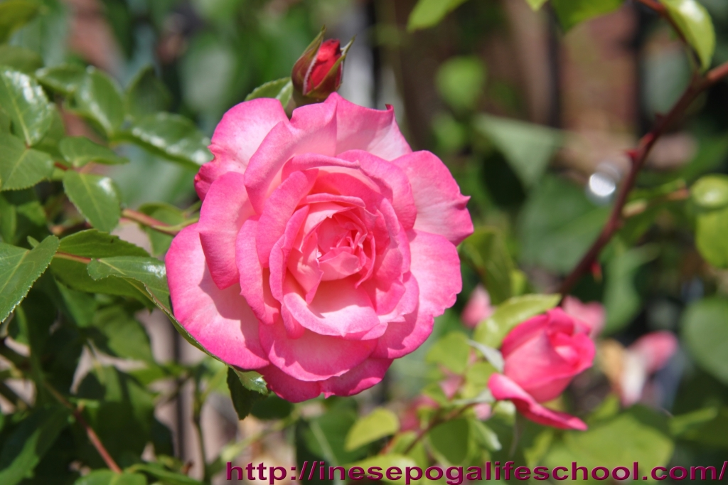 Rose whispers Mindful living