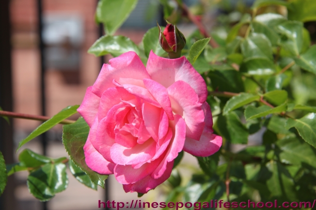 Rose whispers Mindfullness