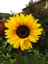 garden sunflower