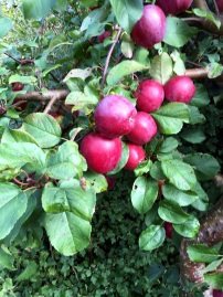 garden red apples