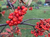 garden ashberries