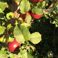 garden apples