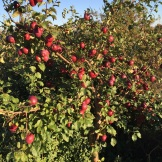 garden apple tree