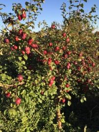 garden apple tree