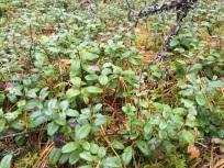 Green living walking in Latvian forest