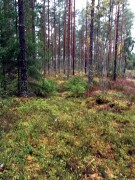 latvian-forest-65