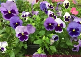 Can gardening save your life garden flowers pansies