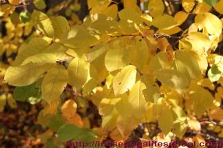 leaves 037