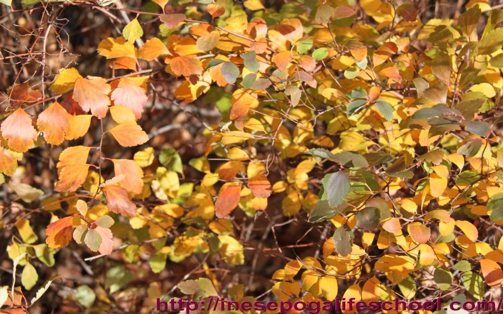 photos of golden fall trees