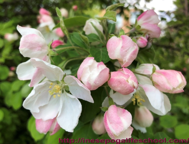 Apple blossoms, how to stay young
