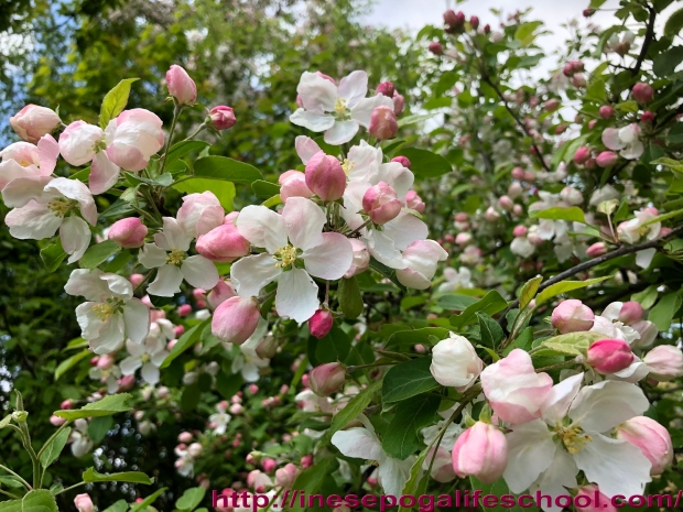 How to stay young, nature, blossoming apple trees