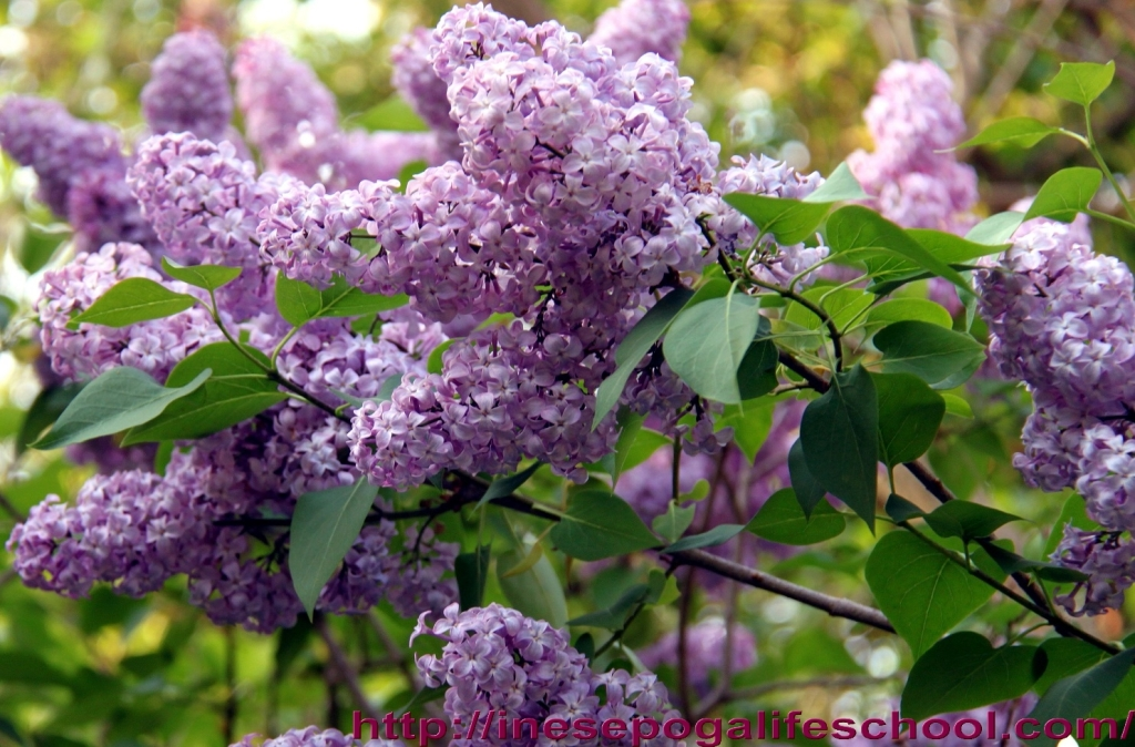 Lilac, poem, giving blog new direction