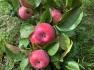 life skills and magic apple leaf tea